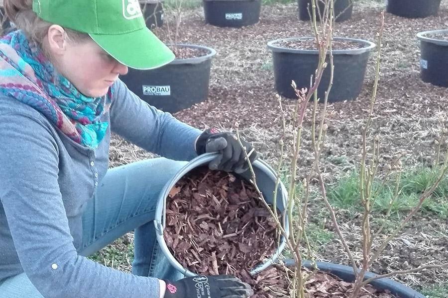 Die Pflege der Heidelbeeren ist Handarbeit